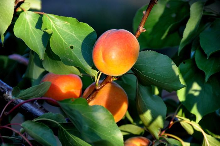 Abricots-frais-MDA