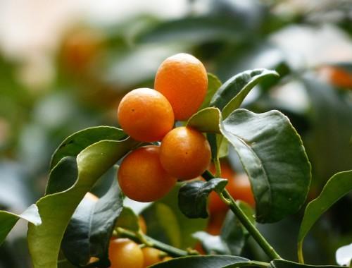 kumquats-MDA